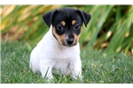 German Pinscher for sale