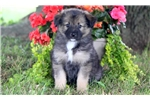 Picture of Matthew - Keeshond Mix Male