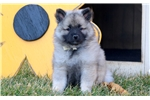 Picture of Daffodil - Keeshond Female