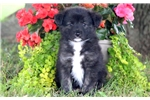 Picture of Melissa - Keeshond Mix Female