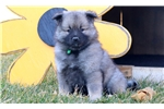 Picture of Bruce - Keeshond Male
