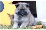 Picture of Wilson - Keeshond Male