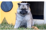 Picture of Marigold - Keeshond Female