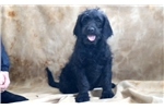 Picture of Leo - Labradoodle Male