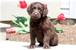 Picture of Dexter - Labradoodle Male