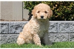 Picture of Tibby - F1b Labradoodle Female
