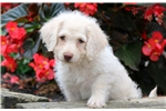 Picture of Bell - F1b Mini Labradoodle Female