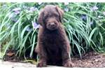 Picture of Carter - Labradoodle Male