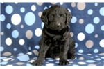 Picture of Theo - Mini Labradoodle Male