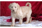 Picture of Cassie - Labradoodle Female