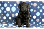 Picture of Tike - Mini Labradoodle Male
