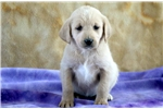 Picture of Dove - Labradoodle Female