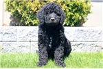 Picture of Turbo - F1b Labradoodle Male