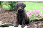 Picture of Cara - Labradoodle Female