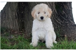 Picture of Carter - Mini Labradoodle Male