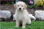 Picture of Marabell - Labradoodle Female