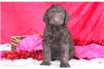 Picture of Charlie - Labradoodle Male