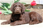 Picture of Dylan - Labradoodle Male