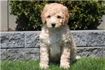 Picture of Truffle - F1b Labradoodle Female