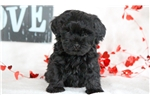 Picture of Charm - F1b Mini Labradoodle Female
