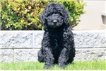 Picture of Twinkle - F1b Labradoodle Female