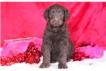 Picture of Cherry - Labradoodle Female