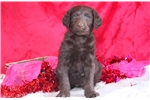 Picture of Chloe - Labradoodle Female