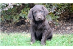 Picture of Buffy - Labradoodle Female