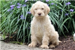 Picture of Carson - Labradoodle Male