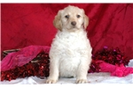 Picture of Charm - Labradoodle Female
