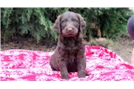 Picture of Bunky - Labradoodle Male