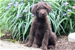 Picture of Casey - Labradoodle Male