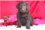 Picture of Champ - Labradoodle Male
