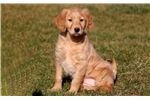 Picture of Nikki - Labradoodle Female