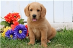 Picture of Sandy - Labradoodle Female