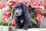 Picture of BamBam - F1b Mini Labradoodle Male