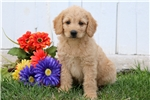 Picture of Silver - Labradoodle Female