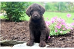 Picture of Chasity - Labradoodle Female