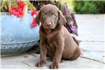 Picture of Dasher - Chocolate Lab Male