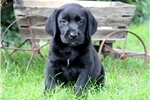 Picture of Tike - Black Lab Male