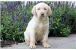 Picture of Turbo - Yellow Lab Male