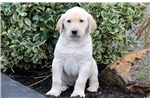 Picture of Dylan - Yellow Lab Male