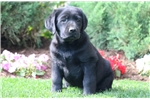 Picture of Jigger - Black Lab Male