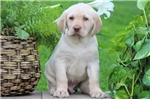 Picture of Gordo - Yellow Lab Male