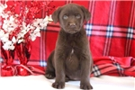 Picture of Drew - Chocolate Lab Male