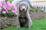 Picture of Sunshine - Silver Lab Female
