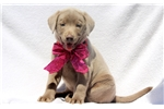 Picture of Ginger - Silver Lab Female