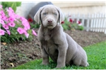 Picture of Sebastian - Silver Lab Male