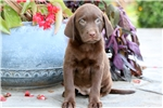 Picture of Daffy - Chocolate Lab Female