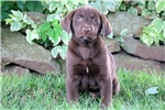 Picture of Smurf - Chocolate Lab Male